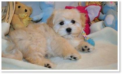 Brown Havanese Puppies