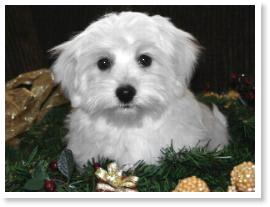 The Fun of Havanese Colors By Cornerstone